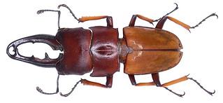 Leptinopterus tibialis (Eschscholtz, 1822) male