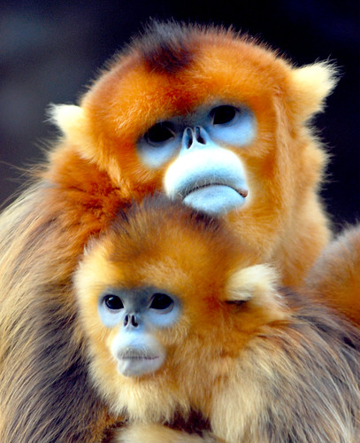 Golden monkey | by floridapfe