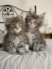 Maine Coon Kittens | by Barbarella - The Mad Cat Lady