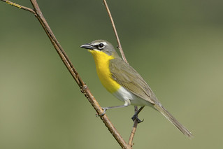 Yellow-Breasted Chat | by Hank Halsey