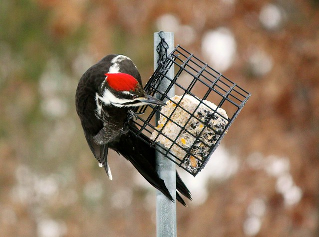 MAP0487 Pileated Lunch 1