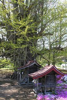 Ginko Biloba (GCY9P8) - Shrines