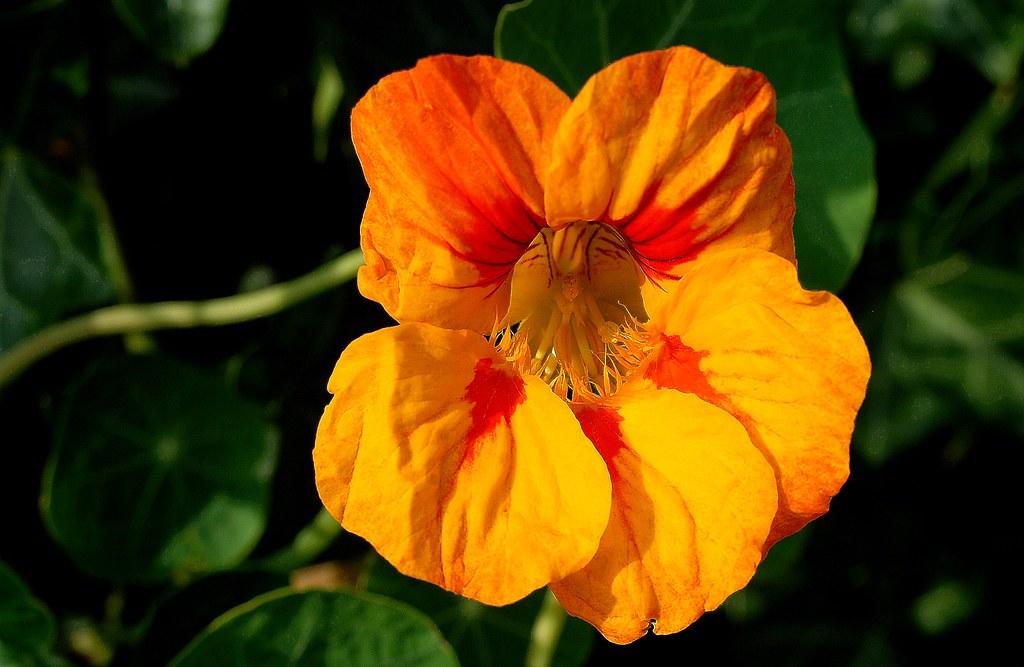 Fleur capucine | Fleur capucine. photo--quartier de Boujean,… | Flickr