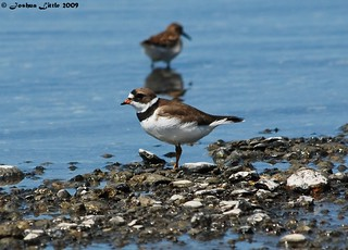 Semipalmated Plover | by Joshua Little