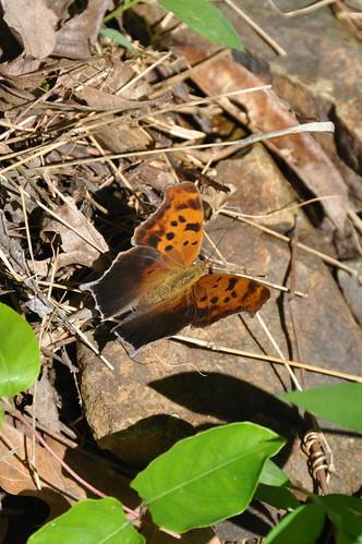 usa butterfly insect virginia va polygonia princewilliamcounty polygoniainterrogationis questionmarkcomma taxonomy:binomial=polygoniainterrogationis silverlakeregionalpark taxonomy:common=questionmarkcomma