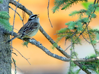 White-crowned Sparrow 20110617 | by Kenneth Cole Schneider