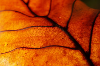 Dry leaf, backlit   by Clicographe