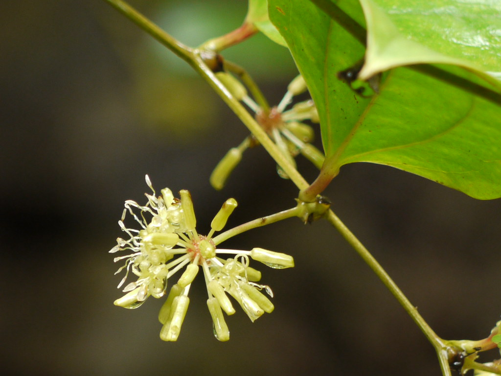 Smilax ovalifolia Roxb. ex D.Don