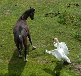Swan attacks horse | by Erik van Ravenstein