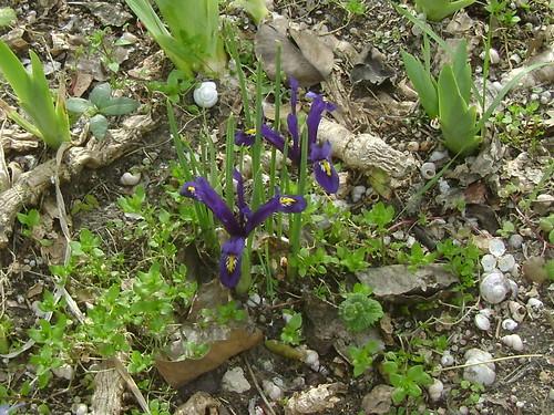 Iris d'ici et d'ailleurs - des espèces 32578560310_8c87080278