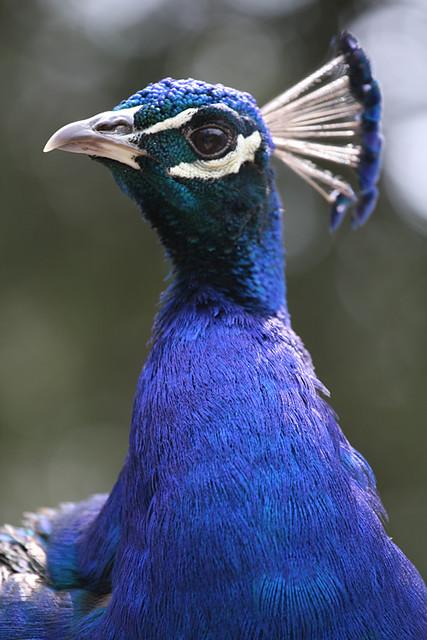 Evil peacock is reformed