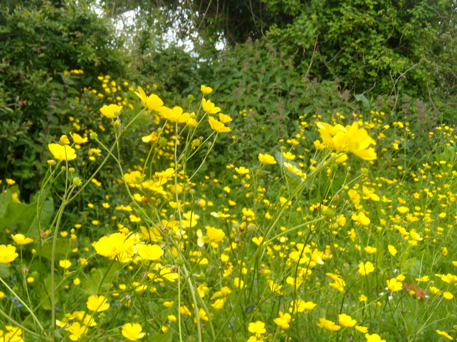 Buttercups Glynde to Seaford