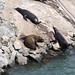 Ensenada Sea Lions - Newcomer