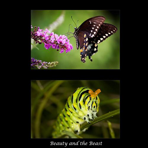 diptych beautyandthebeast blackswallowtail ghholt papiliopolyxenesasteriusstolllepidopterapapilionidae 10152009