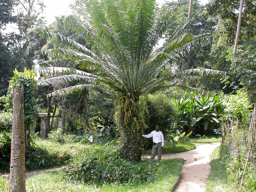 Encephalartos laurentianus De Wild. (ZAMIACEAE)