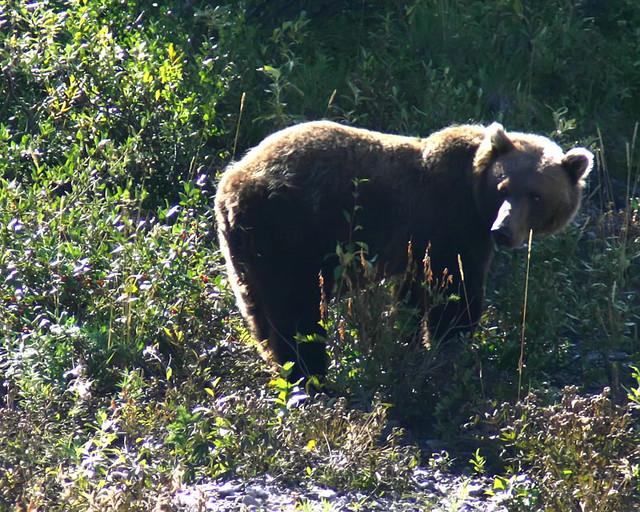 alaska_grizzly_aug 5 - 3