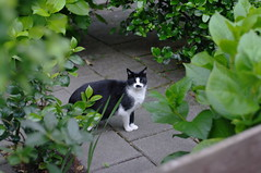 black-and-white cat in Rijswijk garden