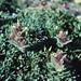 "Castilleja chrysantha Greenm. ""ownbeyana"" form"