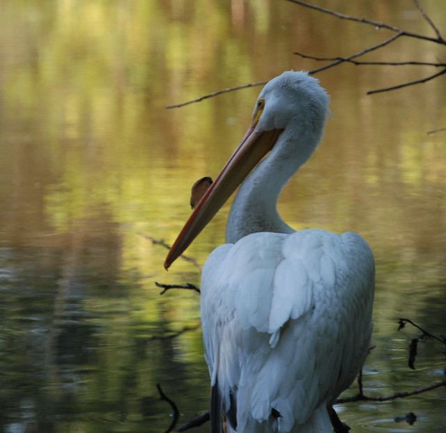 PELICAN AND REFLECTIONS