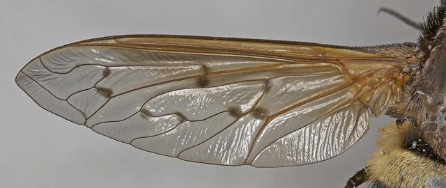 Wing - Ligyra bombyliformis