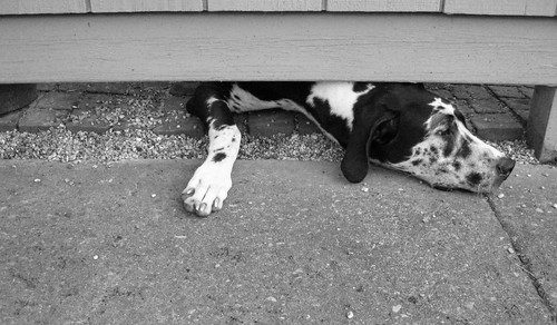 blackandwhite dog pets outside gracie tennessee greatdane