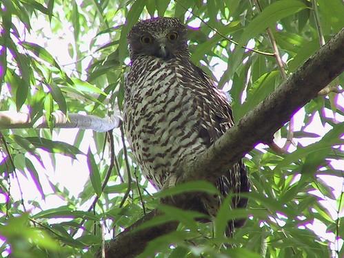 Powerful Owl - Robert Blair