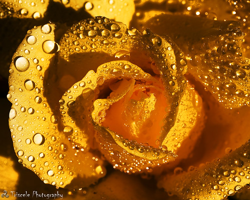 flower macro water rose yellow ma droplets flora massachusetts ayer