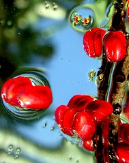 pomegranate seed in h20