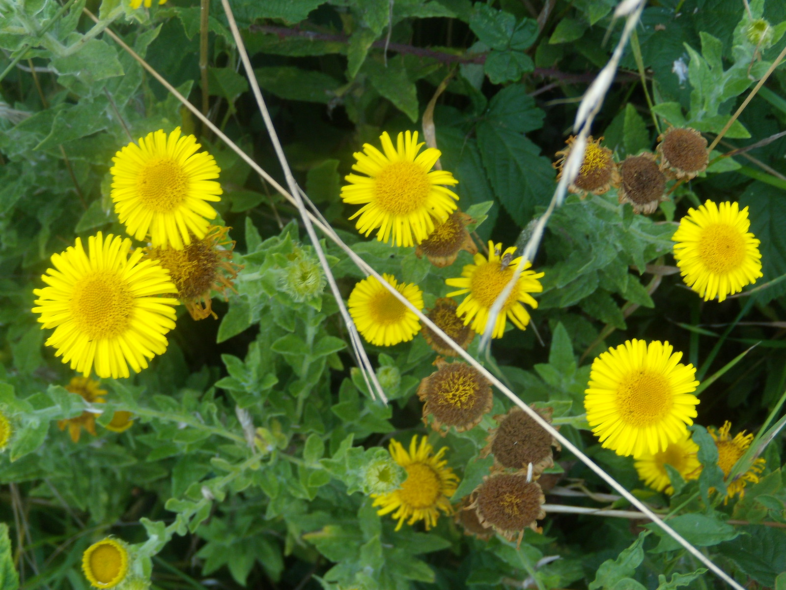 Fleabane Eastbourne to Seaford