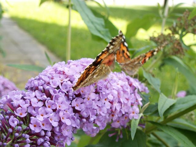 Und ich streckte meine Arme nach den Schmetterlingen hin, liebend sie an dieses warme, treue Bruderherz zu ziehn, aber ihre Schatten bebten, ruhig wallend, seine stille, langgewohnte Pilgerbahn der Schmetterlinge nach Dresden 105