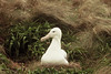 Southern Royal Albatross on the nest - Campbell Island 2 by markfountain52