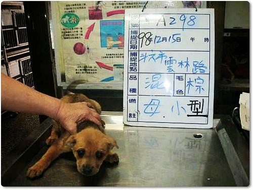 20091217『只缺一個機會!』雲林防治所公告.12月17日至12月23日止,黃金獵犬、哈士奇、狼犬、米克斯幼犬xN、米克斯