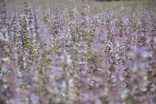 Salvia sclarea - sauge sclarée 32542151490_1039a94ca5