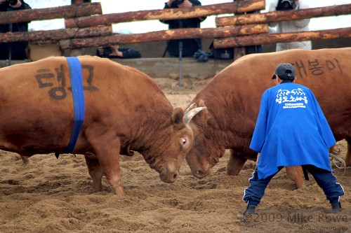 Korean Bull Fighting