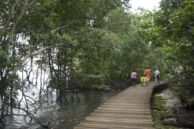 Mangrove boardwalk at Chek Jawa