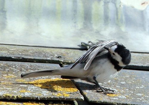 Pied Wagtail Preening | by Cyclingrelf