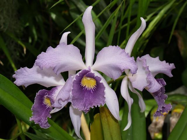 Lc. Canhamiana coerulea 'Cobalt'
