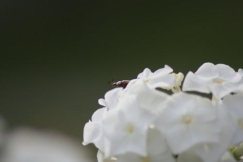 white flower macro digital canon bug insect rebel petals bokeh connecticut beetle dslr canonrebelxsi rebelxsi