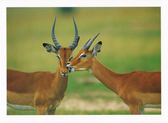 Impala Males Postcard