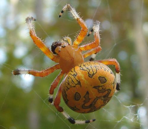 spider orbweaver marbledorbweaver flickrdiamond unlimitedinsectslevel1 unlimitedinsectslevel2 unlimitedinsectslevel3 unlimitedinsectslevel4 unlimitedinsectslevel5