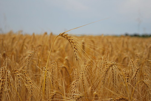 Wheat | by goingslowly