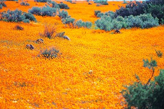 More Namaqualand Blooms IV | by Doha Sam