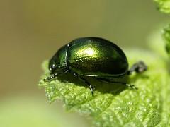 Chrysolina herbacea | by fturmog