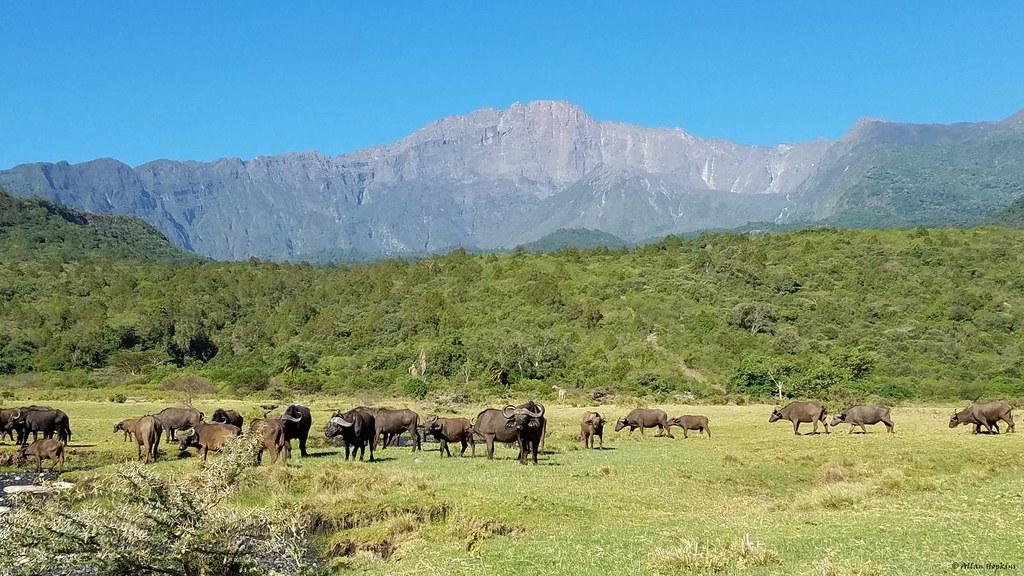 African Buffalo on the slopes of Mount Meru