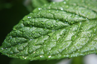 Spearmint   by marfis75