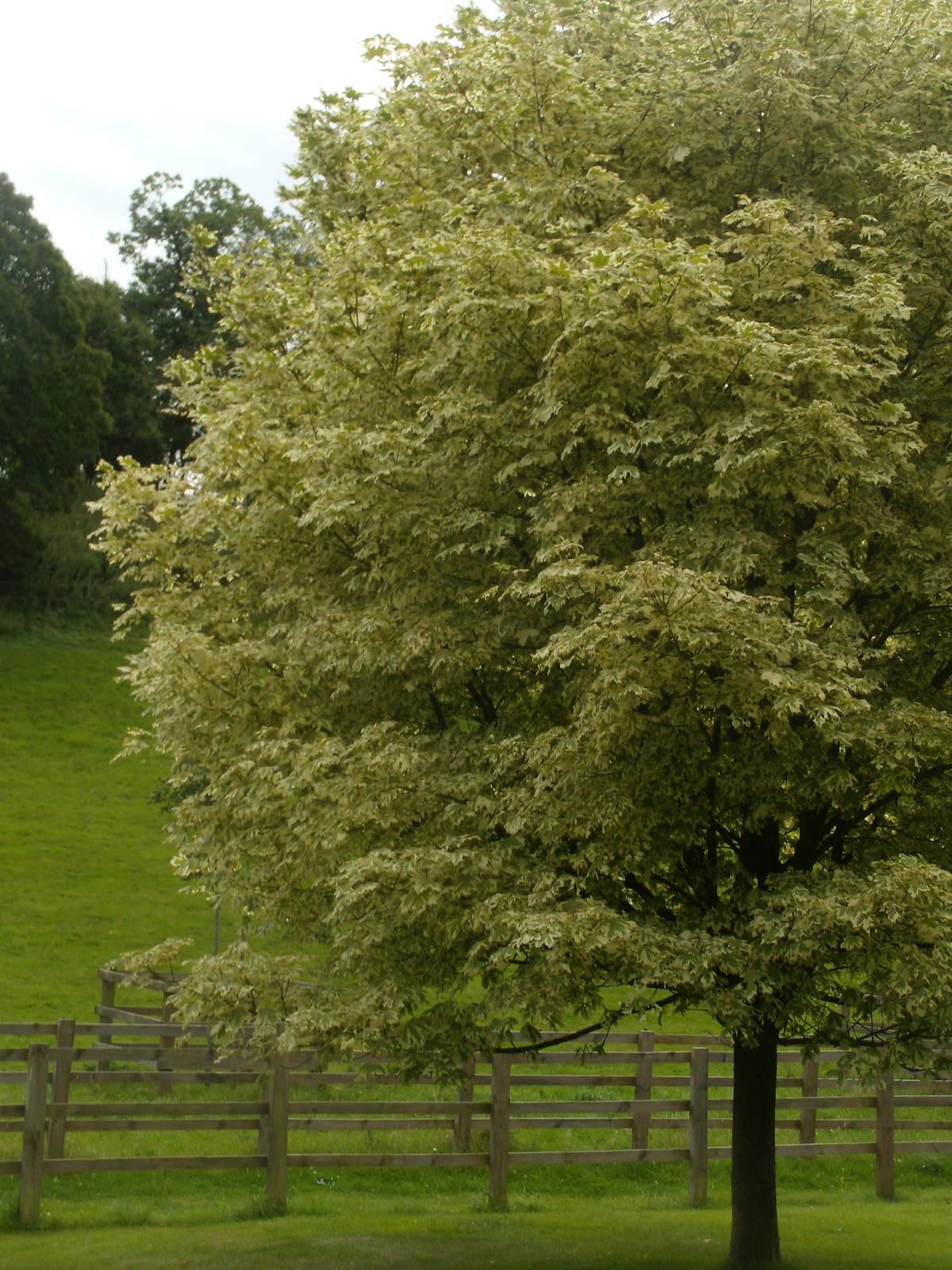 variegated maple Compton. Wanborough to Godalming