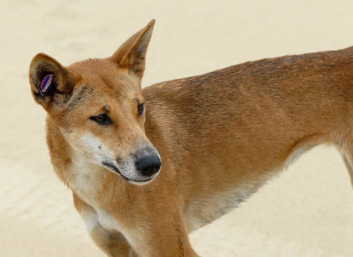 Canis lupus dingo | by Sam Fraser-Smith