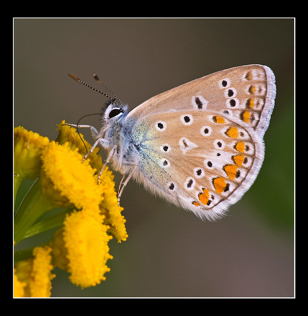 icarus blue butterfly