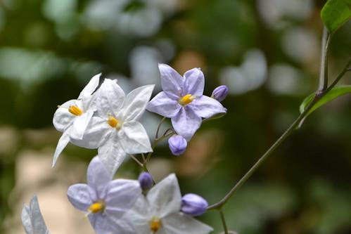 Solanum jasminoides - faux-jasmin 32096064264_fc789823a3