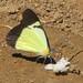 Pieridae - White and Yellows